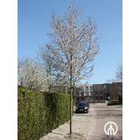 Amelanchier arborea 'Robin Hill' | Krentenboomje