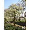 Boomkwekerij M. van den Oever Amelanchier lamarckii | Amerikaans krentenboompje