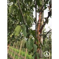 Betula albosinensis 'Fascination' | Chinese rode berk