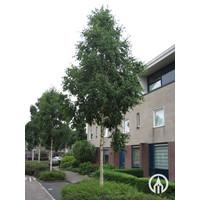 Betula ermanii 'Holland' | Goudberk