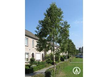 Boomkwekerij M. van den Oever Betula ermanii 'Holland'