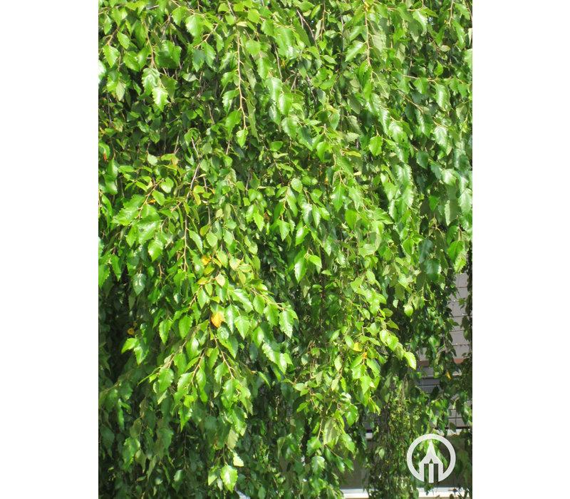 Betula nigra | Rode berk | Zwarte berk