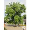 Boomkwekerij M. van den Oever Betula nigra | Rode berk | Zwarte berk