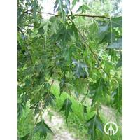 Betula pendula 'Crispa' | Fijne Ruwe berk