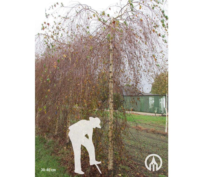 Betula pendula 'Youngii' | Prieelberk
