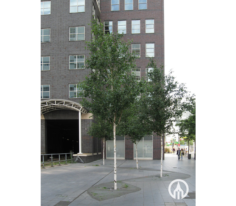 Betula utilis 'Doorenbos' | Witte himalayaberk