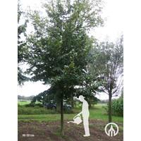 Carpinus betulus | Gewone haagbeuk