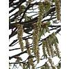 Boomkwekerij M. van den Oever Carpinus betulus | Gewone haagbeuk