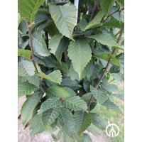 Carpinus betulus 'Fastigiata' | Haagbeuk