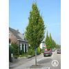 Boomkwekerij M. van den Oever Carpinus betulus 'Frans Fontaine' | Haagbeuk