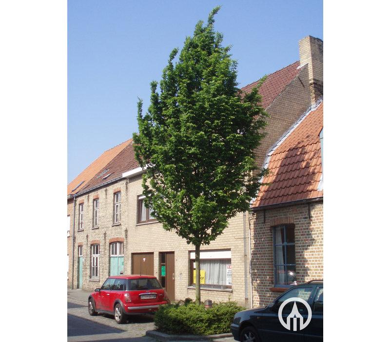 Carpinus betulus 'Frans Fontaine' | Haagbeuk
