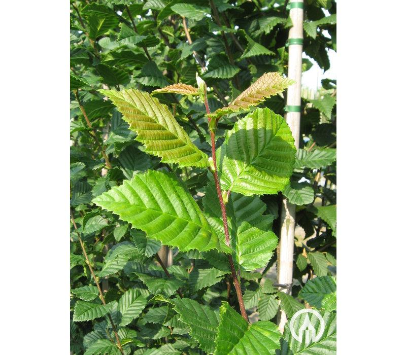 Carpinus betulus 'Lucas'  | Haagbeuk