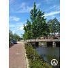Boomkwekerij M. van den Oever Carpinus betulus 'Lucas'  | Haagbeuk