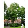 Boomkwekerij M. van den Oever Catalpa bignonioides | Grote trompetboom