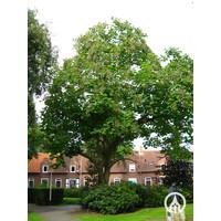 Catalpa bignonioides | Grote trompetboom
