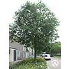 Boomkwekerij M. van den Oever Celtis australis | Europese netelboom