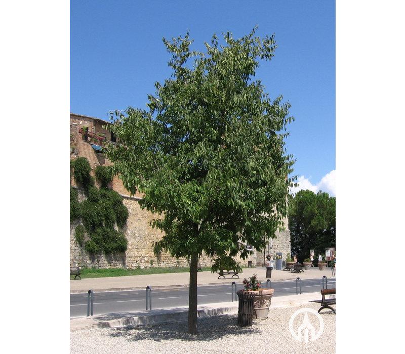 Celtis australis | Europese netelboom