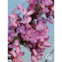 Cercis siliquastrum | Judasboom