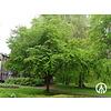 Boomkwekerij M. van den Oever Cercidiphyllum japonicum | Katsuraboom