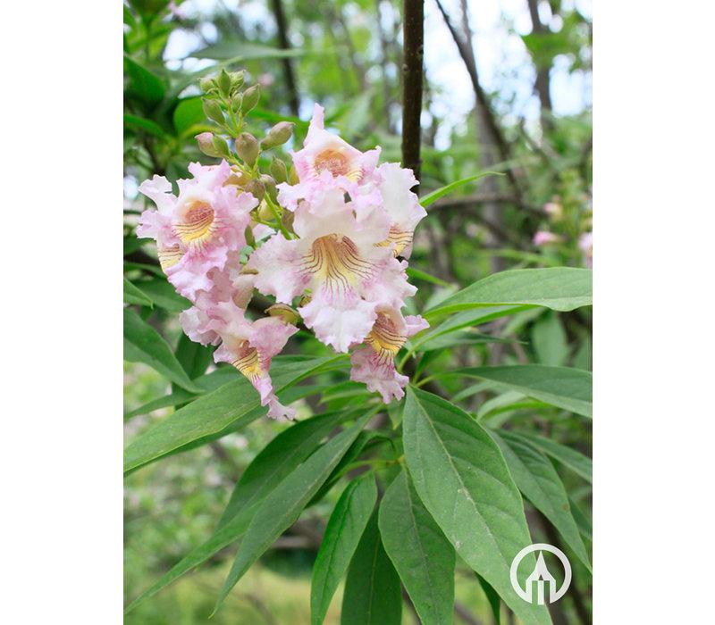 Chitalpa x tashkentensis | Smalbladige Catalpa