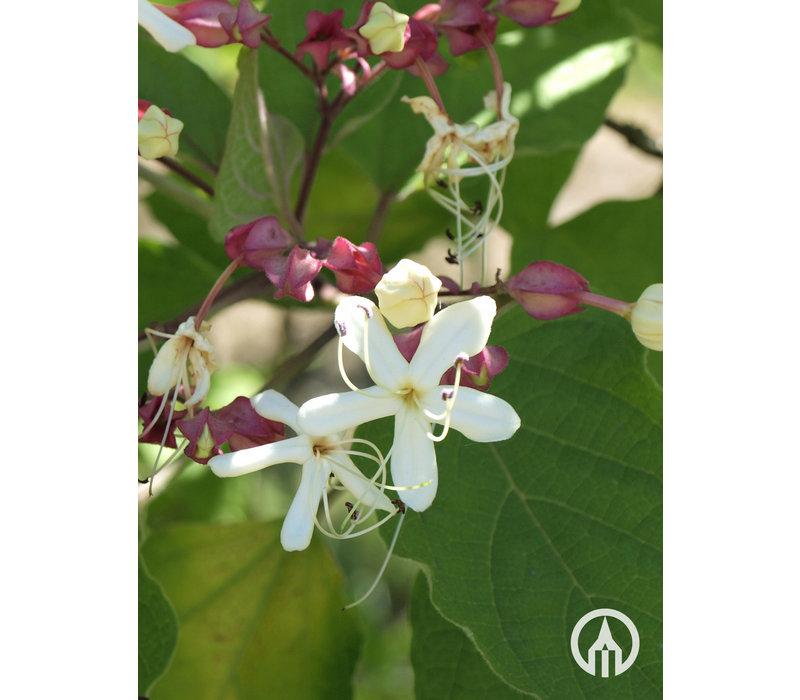 Clerodendrum trichotomum | Pindakaasboom | Kansenboom