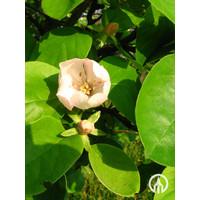 Cydonia oblonga | Kweepeer
