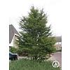 Boomkwekerij M. van den Oever Fagus sylvatica 'Asplenifolia' | Varenbeuk