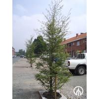 Fagus sylvatica 'Asplenifolia' | Varenbeuk