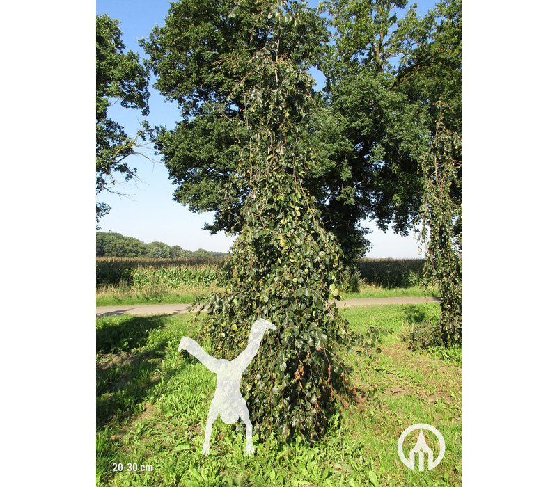 Fagus sylvatica 'Pendula' | Groene treurbeuk