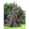 Boomkwekerij M. van den Oever Fagus sylvatica purpurea 'Pendula' | Bruinbladige prieelbeuk