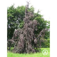 Fagus sylvatica purpurea 'Pendula' | Bruinbladige prieelbeuk