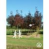 Boomkwekerij M. van den Oever Fraxinus americana 'Autumn Applause' | Amerikaanse es