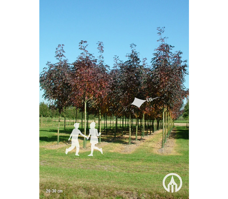 Fraxinus americana 'Autumn Applause' | Amerikaanse es