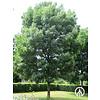 Boomkwekerij M. van den Oever Fraxinus angustifolia 'Raywood' | Amerikaanse es