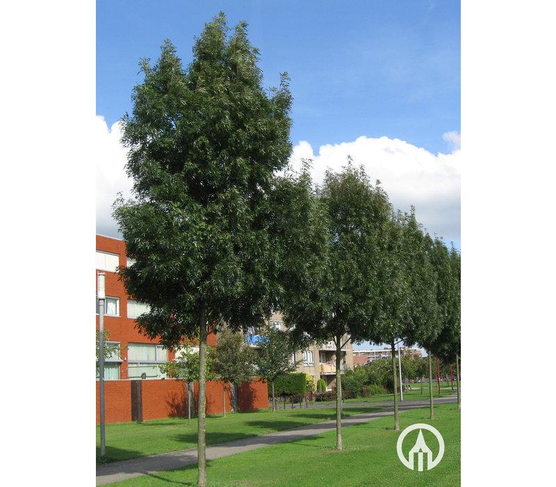Fraxinus angustifolia 'Raywood' | Amerikaanse es