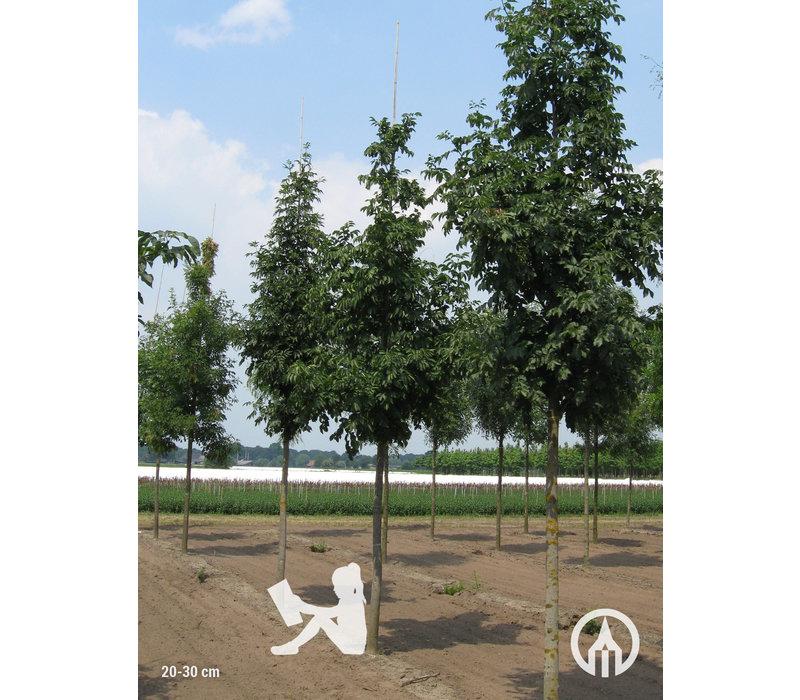 Fraxinus ornus | Pluim-es