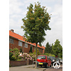 Boomkwekerij M. van den Oever Fraxinus ornus 'Obelisk' | Pluim-es