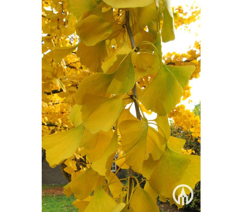 Ginkgo biloba | Japanse notenboom