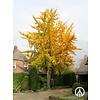 Boomkwekerij M. van den Oever Ginkgo biloba | Japanse notenboom