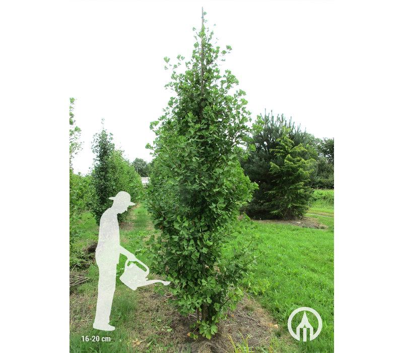 Ginkgo biloba 'Fastigiata Blagon' | Japanse notenboom