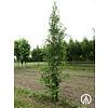 Boomkwekerij M. van den Oever Ginkgo biloba 'Tit' | Japanse notenboom