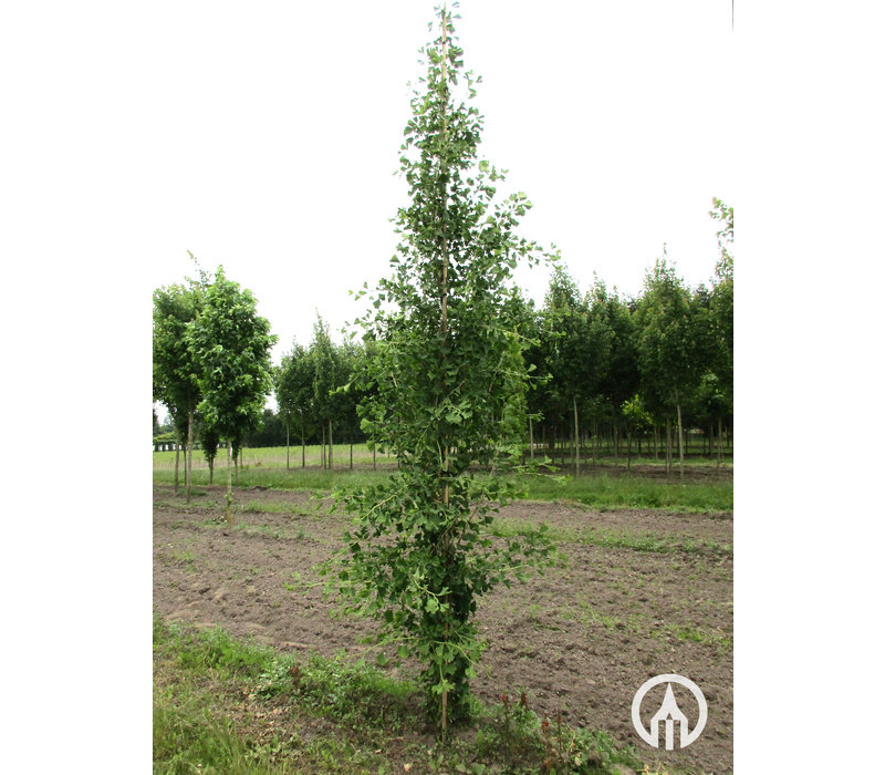 Ginkgo biloba 'Tit' | Japanse notenboom