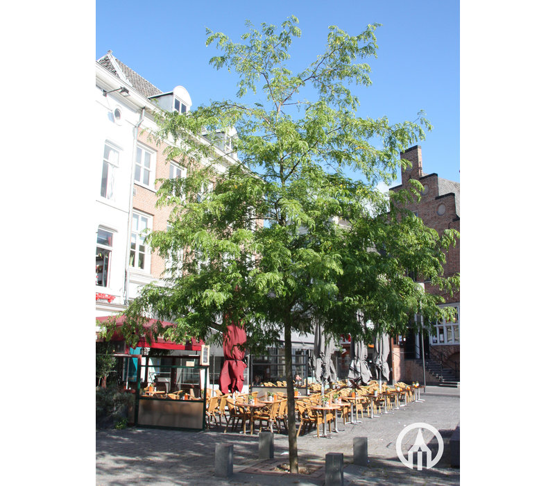 Gleditsia triacanthos 'Skyline' | Valse Christusdoorn