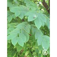Gymnocladus dioica | Doodsbeenderenboom