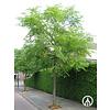 Boomkwekerij M. van den Oever Gymnocladus dioica | Doodsbeenderenboom