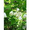 Boomkwekerij M. van den Oever Halesia carolina | Sneeuwklokjesboom