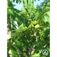 Juglans nigra | Zwarte walnoot