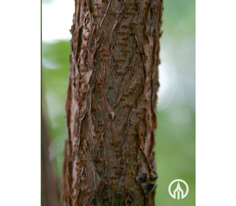 Koelreuteria paniculata | Chinese vernisboom