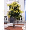 Boomkwekerij M. van den Oever Koelreuteria paniculata | Chinese vernisboom