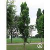 Boomkwekerij M. van den Oever Koelreuteria paniculata 'Fastigiata' | Chinese vernisboom
